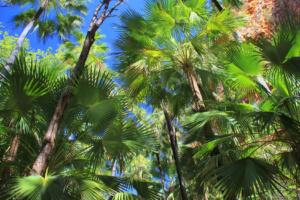 aus den getrockneten Fächerpalmenblätter werden die wunderschönen Smitten Körbe geflochten